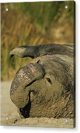 Usa, California, Northern Elephant Acrylic Print by Gerry Reynolds