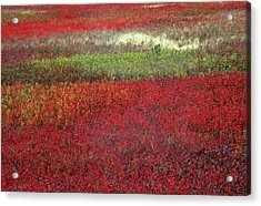 Usa, Maine Blueberry Fields In Autumn Acrylic Print by Jaynes Gallery