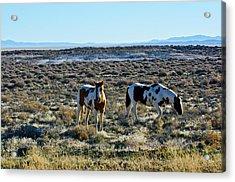 Usa, Nevada, Wild Horses Grazing Acrylic Print by Bernard Friel