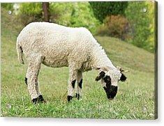 Valais Blacknose Sheep Grazing Acrylic Print by Bob Gibbons