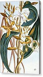 Vanilla Pods Acrylic Print by Pierre-Joseph Buchoz