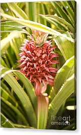 Variegated Pink Pineapple Plant Acrylic Print by Charmian Vistaunet