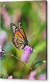 Viceroy Butterfly Acrylic Print by Christina Rollo