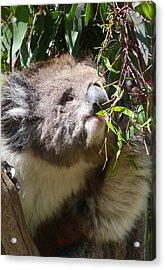 Victorian Koala Snacktime Acrylic Print by Margaret Saheed