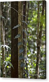 Vine In Rainforest Acrylic Print by Wendy Townrow