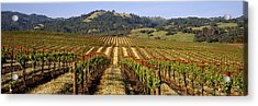 Vineyard, Geyserville, California, Usa Acrylic Print by Panoramic Images