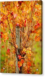 Vineyard In Autumn, Gaillac, Tarn Acrylic Print by Panoramic Images