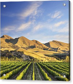 Vineyard In Canterbury New Zealand Acrylic Print by Colin and Linda McKie