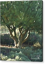 Vineyard Olive Acrylic Print by Artist and Photographer Laura Wrede