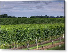 Vineyard Rows Acrylic Print by Steve Gravano