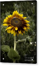 Vintage Rustic Sunflower Acrylic Print by Cris Hayes