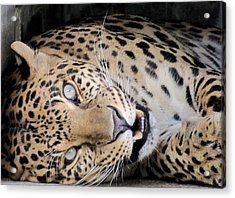 Voodoo The Leopard Acrylic Print by Keith Stokes
