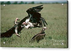 Vulture Fight Acrylic Print by Gregory G. Dimijian, M.D.