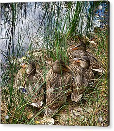 Waddle Of Ducks Acrylic Print by Trever Miller