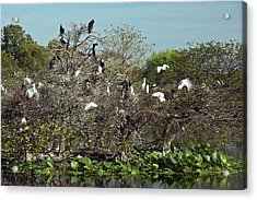 Wading Birds Roosting In A Tree Acrylic Print by Bob Gibbons