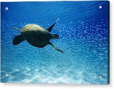 Waimea Turtle Acrylic Print by Sean Davey