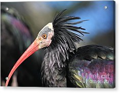 Waldrapp Ibis 5d27038 Acrylic Print by Wingsdomain Art and Photography