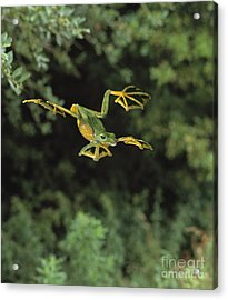 Wallaces Flying Frog Acrylic Print by Stephen Dalton