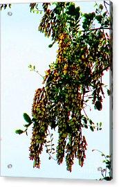 Walnut Blooms Acrylic Print by Tina M Wenger