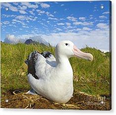 Wandering Albatross Incubating S Georgia Acrylic Print by
