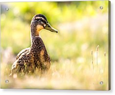 Warm Summer Morning And A Duck Acrylic Print by Bob Orsillo