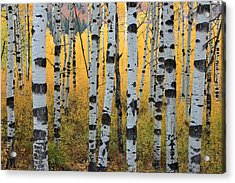 Wasatch Aspens Acrylic Print by Johnny Adolphson