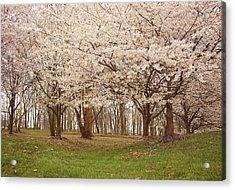 Washington Dc Cherry Blossoms Acrylic Print by Kim Hojnacki