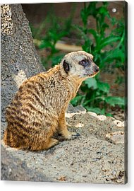 Watchful Meerkat Vertical Acrylic Print by Jon Woodhams
