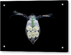Water Flea With Eggs Acrylic Print by Frank Fox