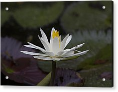 Water Lilly7 Acrylic Print by Charles Warren