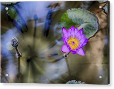 Water Lily 3 Acrylic Print by Scott Campbell