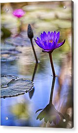 Water Lily 6 Acrylic Print by Scott Campbell