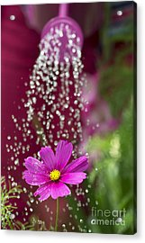 Watering The Cosmos Acrylic Print by Tim Gainey