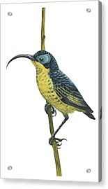 Wattled False Sunbird Acrylic Print by Anonymous