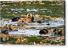 We Otter Be In Pictures Acrylic Print by Bob Hislop