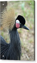 West African Crowned Crane Acrylic Print by Richard Bryce and Family