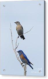 Western Bluebird Pair Acrylic Print by Mike  Dawson