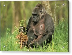 Western Gorilla And Young Acrylic Print by M. Watson