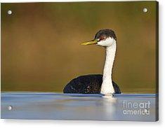 Western Grebe On The Lake Acrylic Print by Bryan Keil