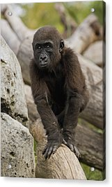 Western Lowland Gorilla Baby Acrylic Print by San Diego Zoo