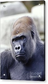 Western Lowland Gorilla Acrylic Print by Gregory G. Dimijian