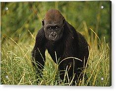 Western Lowland Gorilla Juvenile Acrylic Print by Gerry Ellis