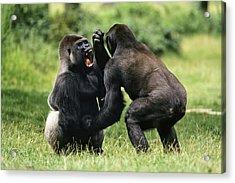 Western Lowland Gorilla Males Fighting Acrylic Print by Konrad Wothe