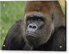 Western Lowland Gorilla Silverback Acrylic Print by Gerry Ellis
