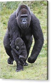 Western Lowland Gorilla Walking Acrylic Print by Duncan Usher
