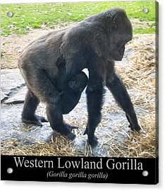 Western Lowland Gorilla With Baby Acrylic Print by Chris Flees