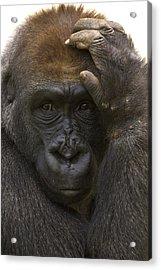Western Lowland Gorilla With Hand Acrylic Print by San Diego Zoo