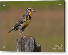 Western Meadowlark.. Acrylic Print by Nina Stavlund