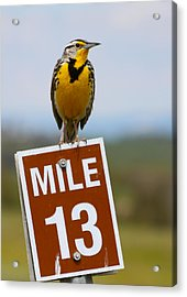 Western Meadowlark On The Mile 13 Sign Acrylic Print by Karon Melillo DeVega