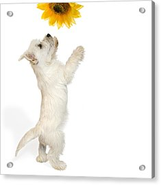 Westie Puppy And Sunflower Acrylic Print by Natalie Kinnear